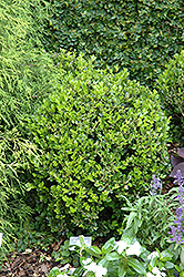 Winter Gem Boxwood (Buxus microphylla 'Winter Gem') at Green Glen Nursery