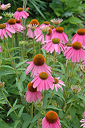 Kim's Knee High Coneflower (Echinacea 'Kim's Knee High') at Green Glen Nursery