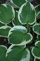 Minuteman Hosta (Hosta 'Minuteman') at Green Glen Nursery