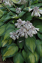 June Hosta (Hosta 'June') at Green Glen Nursery