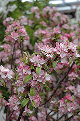 Coralburst Flowering Crab (Malus 'Coralburst') at Green Glen Nursery