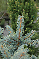 Bakeri Blue Spruce (Picea pungens 'Bakeri') at Green Glen Nursery