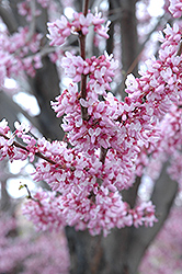 Eastern Redbud (Cercis canadensis) at Green Glen Nursery