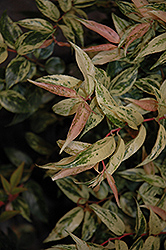 Rainbow Fetterbush (Leucothoe fontanesiana 'Rainbow') at Green Glen Nursery