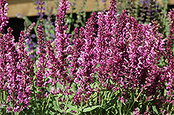 Pink Friesland Sage (Salvia nemorosa 'Pink Friesland') at Green Glen Nursery