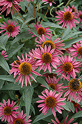Pica Bella Coneflower (Echinacea purpurea 'Pica Bella') at Green Glen Nursery