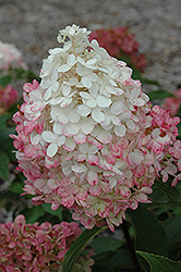 Vanilla Strawberry™ Hydrangea (Hydrangea paniculata 'Renhy') at Green Glen Nursery