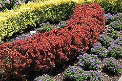 Royal Burgundy Japanese Barberry (Berberis thunbergii 'Gentry') at Green Glen Nursery