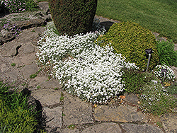 Yo Yo Snow-In-Summer (Cerastium tomentosum 'Yo Yo') at Green Glen Nursery