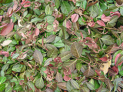 Purpleleaf Wintercreeper (Euonymus fortunei 'Coloratus') at Green Glen Nursery