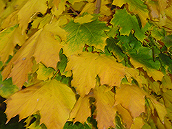 Columnar Norway Maple (Acer platanoides 'Columnare') at Green Glen Nursery