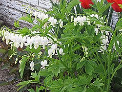 White Bleeding Heart (Dicentra spectabilis 'Alba') at Green Glen Nursery