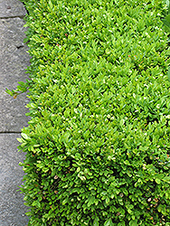 Green Velvet Boxwood (Buxus 'Green Velvet') at Green Glen Nursery