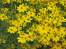 Zagreb Tickseed (Coreopsis verticillata 'Zagreb') at Green Glen Nursery