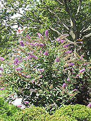 Pink Delight Butterfly Bush (Buddleia davidii 'Pink Delight') at Green Glen Nursery