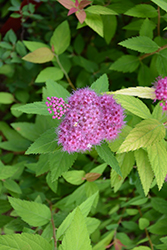 Double Play® Candy Corn® Spirea (Spiraea japonica 'NCSX1') at Green Glen Nursery