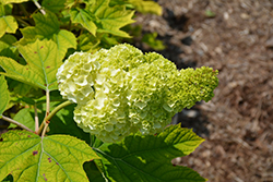 Vaughn's Lillie Hydrangea (Hydrangea quercifolia 'Vaughn's Lillie') at Green Glen Nursery
