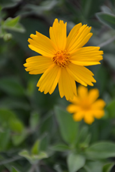 Sunshine Superman Tickseed (Coreopsis pubescens 'Sunshine Superman') at Green Glen Nursery