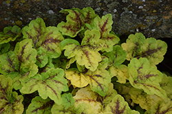 Fun and Games® Eye Spy Foamy Bells (Heucherella 'Eye Spy') at Green Glen Nursery