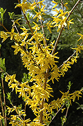 Meadowlark Forsythia (Forsythia 'Meadowlark') at Green Glen Nursery