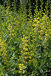 Solar Flare Prairieblues False Indigo (Baptisia 'Solar Flare Prairieblues') at Green Glen Nursery