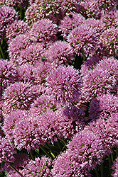 Millenium Ornamental Onion (Allium 'Millenium') at Green Glen Nursery