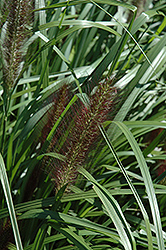 Red Head Fountain Grass (Pennisetum alopecuroides 'Red Head') at Green Glen Nursery