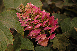 Ruby Slippers Hydrangea (Hydrangea quercifolia 'Ruby Slippers') at Green Glen Nursery