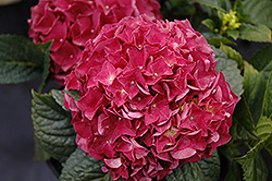 Grateful Red Hydrangea (Hydrangea macrophylla 'McKRed') at Green Glen Nursery
