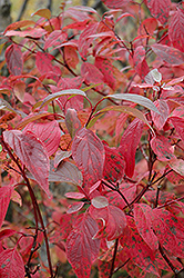 Red Osier Dogwood (Cornus sericea) at Green Glen Nursery