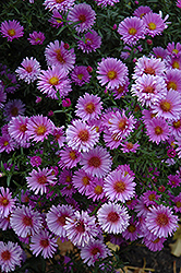Purple Dome Aster (Aster novae-angliae 'Purple Dome') at Green Glen Nursery