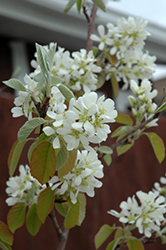 Standing Ovation™ Saskatoon Berry (Amelanchier alnifolia 'Obelisk') at Green Glen Nursery