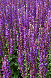 East Friesland Sage (Salvia nemorosa 'East Friesland') at Green Glen Nursery