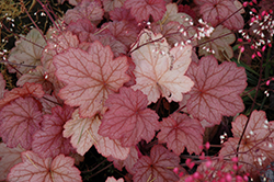 Georgia Peach Coral Bells (Heuchera 'Georgia Peach') at Green Glen Nursery