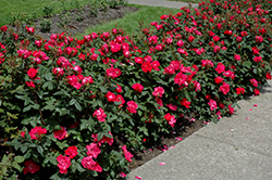 Knock Out® Rose (Rosa 'Radrazz') at Green Glen Nursery