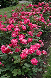 Double Knock Out® Rose (Rosa 'Radtko') at Green Glen Nursery