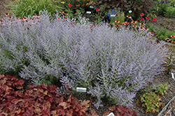 Peek-A-Blue Russian Sage (Perovskia atriplicifolia 'Peek-A-Blue') at Green Glen Nursery