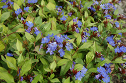 Plumbago (Ceratostigma plumbaginoides) at Green Glen Nursery