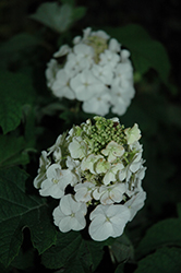 Jetstream™ Hydrangea (Hydrangea quercifolia 'PIIHQ-I') at Green Glen Nursery