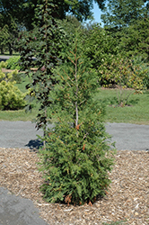American Pillar Arborvitae (Thuja occidentalis 'American Pillar') at Green Glen Nursery
