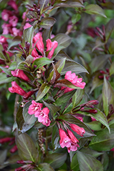 Shining Sensation™ Weigela (Weigela florida 'Bokrashine') at Green Glen Nursery