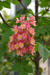 Fort McNair Red Horse Chestnut (Aesculus x carnea 'Fort McNair') at Green Glen Nursery