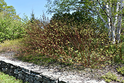 Bailey's Red Twig Dogwood (Cornus sericea 'Baileyi') at Green Glen Nursery
