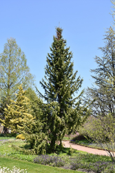 Serbian Spruce (Picea omorika) at Green Glen Nursery