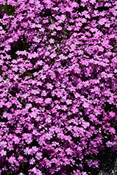 Emerald Pink Moss Phlox (Phlox subulata 'Emerald Pink') at Green Glen Nursery