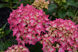 Pink Elf Dwarf Hydrangea (Hydrangea macrophylla 'Pink Elf') at Green Glen Nursery