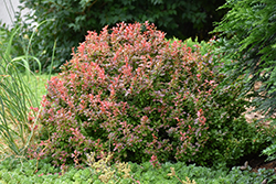 Admiration Japanese Barberry (Berberis thunbergii 'Admiration') at Green Glen Nursery