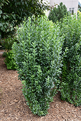 Straight Talk™ Common Privet (Ligustrum vulgare 'Swift') at Green Glen Nursery