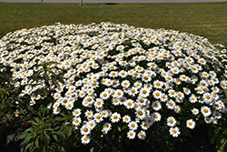 Becky Shasta Daisy (Leucanthemum x superbum 'Becky') at Green Glen Nursery