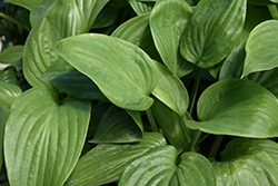 Humpback Whale Hosta (Hosta 'Humpback Whale') at Green Glen Nursery